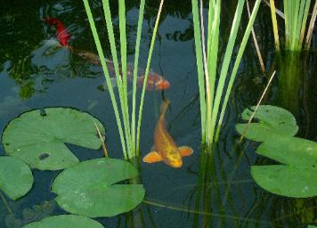 Koi pond fish aquatic plants fish food and supplies in for Koi pond plants